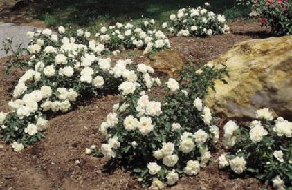 rose plant madhya pradesh rose flower nursery bhopal. Black Bedroom Furniture Sets. Home Design Ideas
